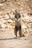 Écureuil au sol de cap Photographie stock