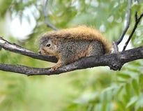 Écureuil au sol de la Californie, Los Angeles, la Californie Images libres de droits