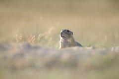 Écureuil au sol européen Image libre de droits