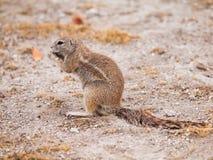 Écureuil au sol sud-africain Photo stock