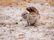 Écureuil au sol sud-africain Photos stock