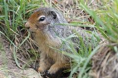 Écureuil dans le Canada Photo libre de droits