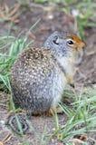 Écureuil dans le Canada Photographie stock