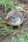 Écureuil dans le Canada Images libres de droits