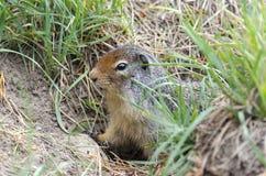 Écureuil dans le Canada Photo stock