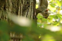 Écureuil dans un arbre Image libre de droits