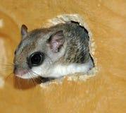 Écureuil de vol Photos stock