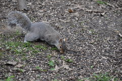 Écureuil gris Images libres de droits