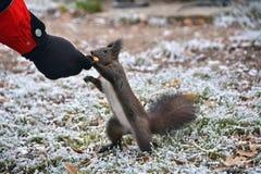 Écureuil mangeant de la main Photo stock