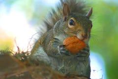 Écureuil mangeant la noix Image libre de droits