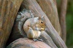 Écureuil mangeant la noix Image stock