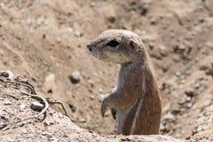 Écureuil moulu regardant hors d'un trou Photo stock