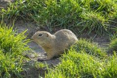 Écureuil moulu sur un pré Image stock