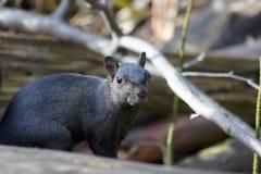 Écureuil noir Images libres de droits