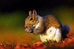 Écureuil par le coucher du soleil Image stock