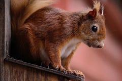Écureuil rouge effronté Photographie stock libre de droits