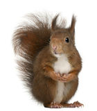 Écureuil rouge eurasien, Sciurus vulgaris Photo libre de droits