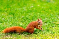 Écureuil rouge sur l'herbe Image libre de droits
