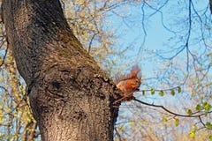 ?cureuil sur de hauts ?crous d'un rongement d'arbre une journ?e de printemps contre un ciel clair image stock