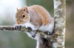 Écureuil sur l'arbre Photographie stock libre de droits