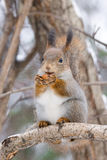 Écureuil sur un arbre Photographie stock