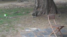 Curieus racoon at a backyard Stock Photo