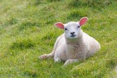 Curieusement regard de l'agneau images stock