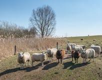 Curieusement regard des moutons dans une image de contre-jour images stock