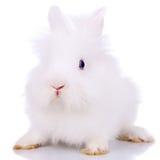 Curieux petit lapin blanc Image libre de droits