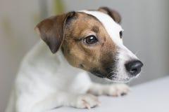 Curieux un chien Photographie stock libre de droits