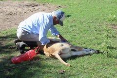 Curing calf Royalty Free Stock Photo