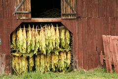Curing Tobacco. In a barn in the country royalty free stock image