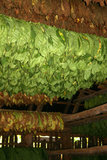Curing tobacco plants, Cuba Stock Images