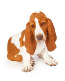 Curioius Basset Hound Dog Looking at Floor Royalty Free Stock Photos