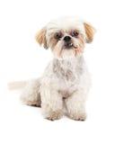 Curioius Maltese and Poodle Mix Dog Sitting Stock Image