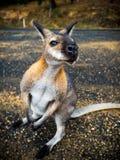 Curios Australian Kangaroo Royalty Free Stock Photo