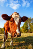 Curios Cow Royalty Free Stock Image