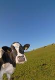 Curios cow Royalty Free Stock Photo