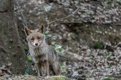 The Fox in the Vulci Park stock images