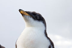 Curios Gentoo Penguin chick Royalty Free Stock Images