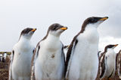 Curios Gentoo Penguin chick Stock Image