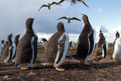 Curios Gentoo Penguin chick Royalty Free Stock Image