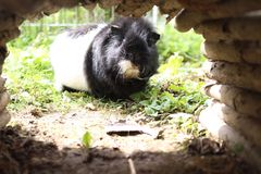 A curios guineapig Royalty Free Stock Images