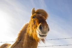 Nice Icelandic horse on a sunny day with a clear blue sky. A curios Icelandic horse on a sunny day with a clear blue sky Royalty Free Stock Photos