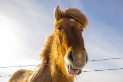 Nice Icelandic horse on a sunny day with a clear blue sky. A curios Icelandic horse on a sunny day with a clear blue sky Stock Image