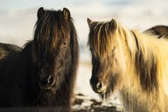 Nice Icelandic horses on a sunny day with a clear blue sky. Curios Icelandic horses on a sunny day with a clear blue sky Royalty Free Stock Image