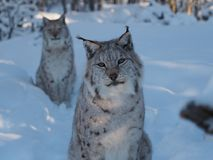 Curios lynx in winter with friend. An amazing image of a very curios lynx in a winter forest scene Royalty Free Stock Photos