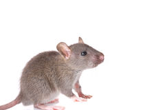 Curios mouse Stock Photography