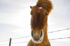 Nice Icelandic horse on a sunny day with a clear blue sky. A curios and nice Icelandic horse on a sunny day with a clear blue sky Royalty Free Stock Photography