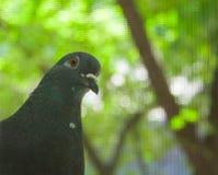 Curios Pigeon Peeking into the Window Royalty Free Stock Photos